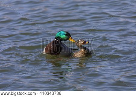 The Mallard  (anas Platyrhynchos), Drake And Hen On The River During Mating.