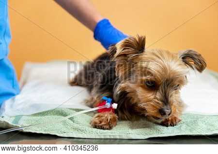 Dog Falls Asleep After A Sedative Induction Before Anesthesia And Surgery In A Veterinary Clinic. Ve