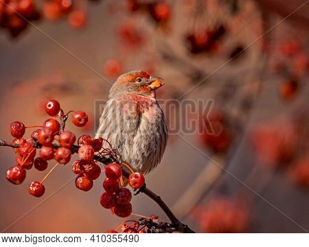 male house finch eating berries from a crab apple tree