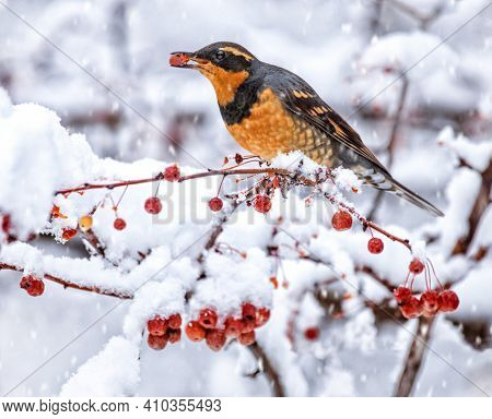 varied thrush eating a berry from a crab apple tree