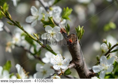 Ladybug And Tree Flowers In Spring Blooming Trees In Early Spring. Soft Focus.