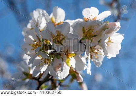 Almond Flower Close-up. Almonds Bloom In Early Spring. Spring Almond Flowers And Blue Sky Soft Focus