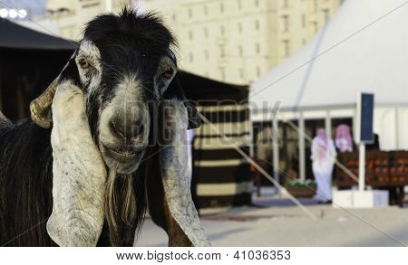 Arabic Goat