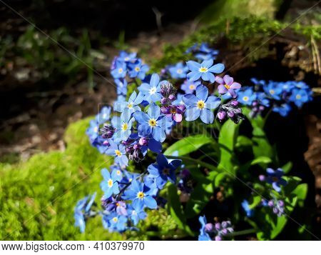 Sky-blue And Purple Spring-flowering Plant - The Wood Forget-me-not Flowers. Flower Meaning - True A
