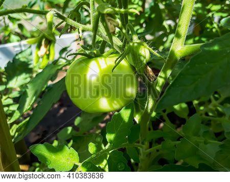 Closeup Shot Of Organic Grown Unripe Tomato Growing On Tomato Plant