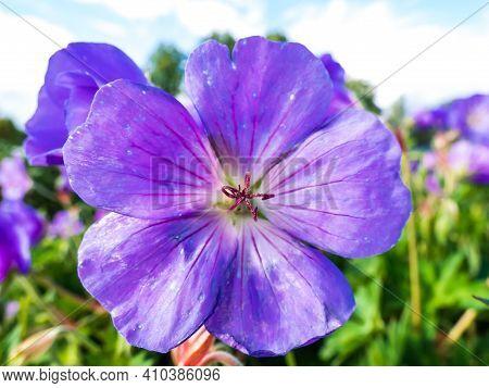 Macro Shot Of Pink-purple Petal Flower Meadow Cranesbill (geranium Pratense) With Green Summer Garde