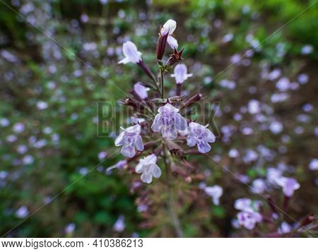 Macro Shot Of Lavender Pink Shrub - Lesser Calamint (clinopodium Nepeta) With Garden And Flower Back