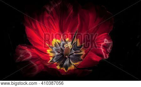 Luxurious Blooming Red Tulip Shot Close-up In Full Face
