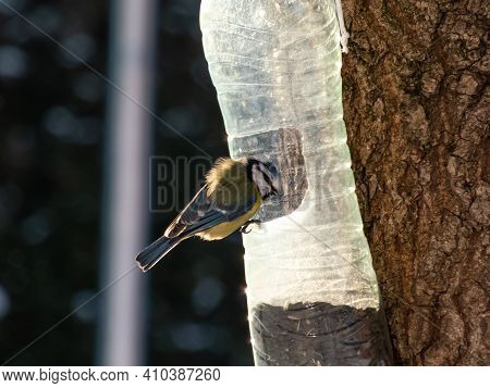 Eurasian Blue Tit (cyanistes Caeruleus) Visiting Bird Feeder Made From Reused Plastic Bottle Full Wi