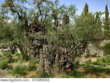 Old Olive Trees With In The Gethsemane Garden In Jerusalem, Israel. According To The Four Gospels Of