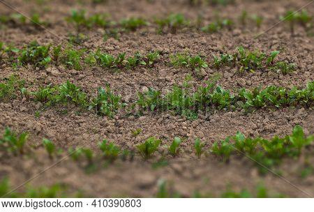 Seedlings That Grow In Complete Soil. Soil Integrity. Seedlings In Dry Soil. World Environment Day C