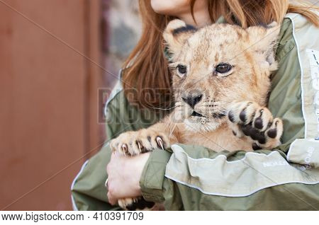 Cute Little Lion Cub At The Zoo. Beautiful Fluffy Little Lion Cub Hands.