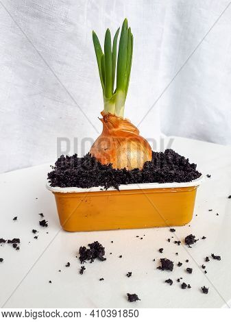 Home-grown Onion With Chives Growing In A Reused Plastic Cup At Home On Window Sil. Zero Waste And H