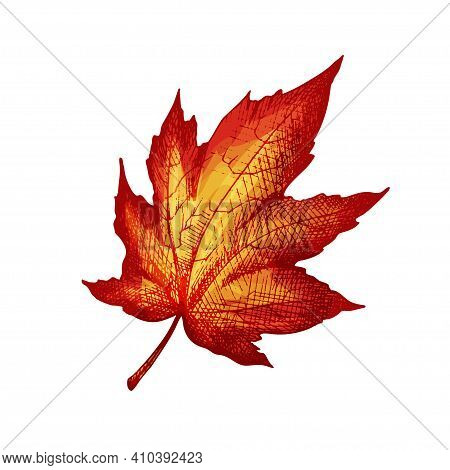 Maple Leaf. Vector Color Vintage Hatching Illustration Isolated On A White Background.