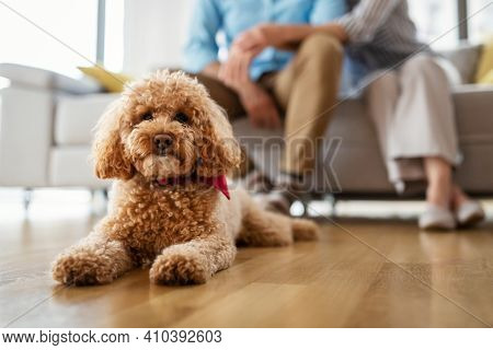 Portrait Of A Cute Brown Toy Poodle At Home, Daytime, Indoors.