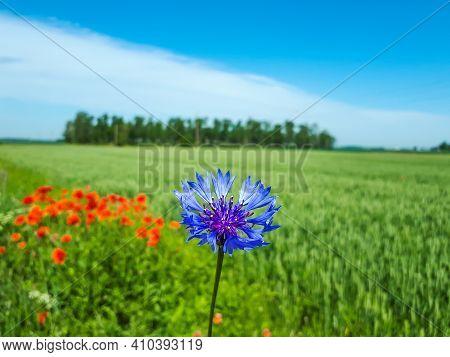 Macro Shot Of Single Blue Cornflower On Beautiful Landscape Of Green Field With Poppies Background