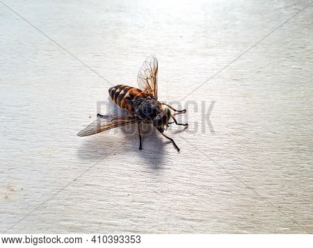High Angle View Of Pale Giant Horse Fly On Wood