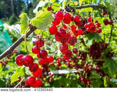 Perfect Ripe Redcurrants On The Branch Between Green Leaves In The Sunlight