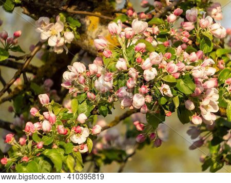 Closeup Of Pink Buds And White Flower Of Apple Tree. Spring Background