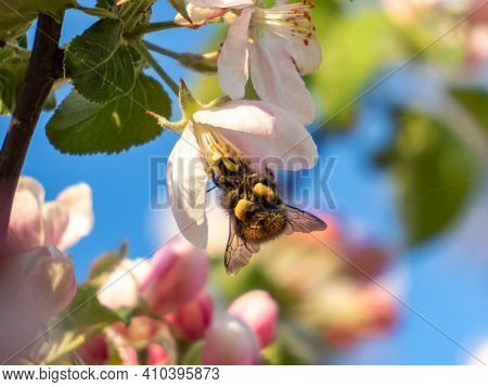 Closeup Of Seasonal Blossom Apple Tree Branch With Flowers Of Pink And White Flowers. Seasonal Sprin