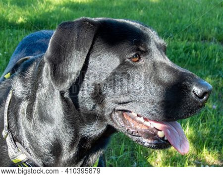 Black Adult Labrador Retriever Dog Portrait During A Walk On A Sunny Day In Summer. Pet. Shiny Coat