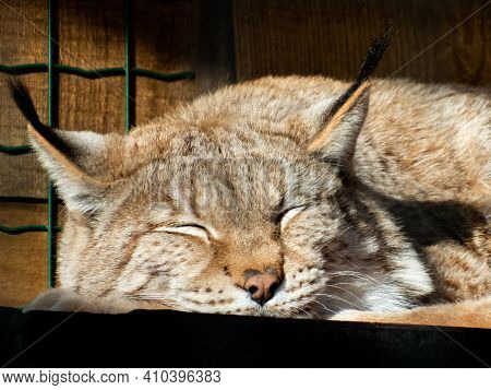 Portrait And Close-up Of Wild Cat The Eurasian Lynx (lynx Lynx) Sleeping In Enclosure On A Sunny Day
