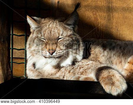 Portrait And Close-up Of A Medium-sized Sleepy Wild Cat The Eurasian Lynx (lynx Lynx) Resting In Enc