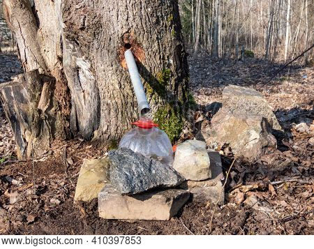 Collecting Sap From Trunk Of Maple Tree To Produce Maple Syrup. Sap Dripping Into A Reused Plastic B