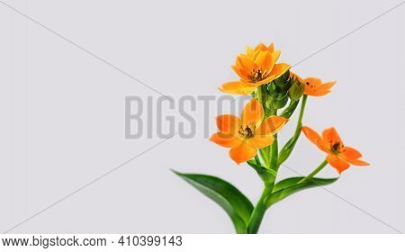 Blooming Yellow Ornithogalum Dubium On A White Background. Copy Space. Close-up.