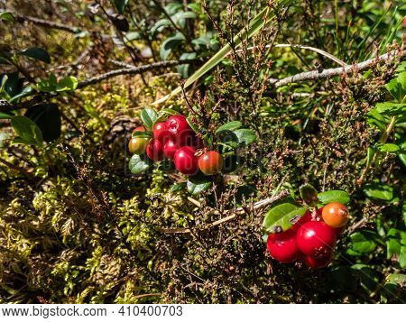 Group Of Perfect Ripe, Red Lingonberries On A Shrub (vaccinium Vitis-idaea) In The Forest Betweer Sh
