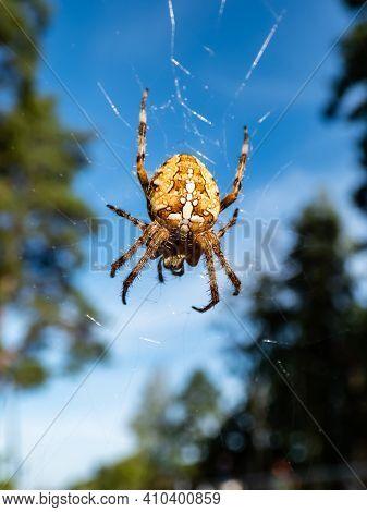 European Garden Spider, Cross Orb-weaver (araneus Diadematus Clerck) Hanging In The Web In Air With