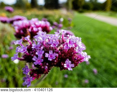 Purpletop Or Argentine Vervain Rose-purple Flowers Full With Water Drops From Morning Dew