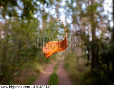 Defoliation. A Single Orange And Brown Dry Leaf Falling In The Forest With Forest Road And Trees Bac