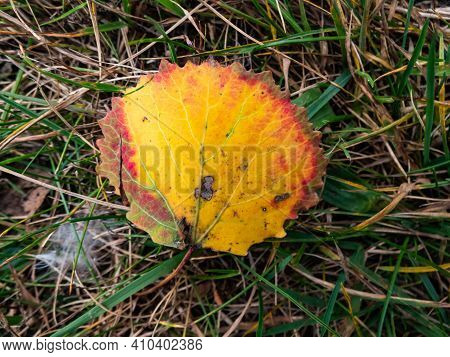 A Fresh Aspen Leaf In Autumn On The Ground. Fall Pigments In A Leaf Changing Colors. Leaf With Every