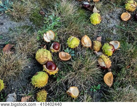 Fresh Horse Chestnuts. Autumn Background With Heap Of Ripe Brown Horse Chestnuts And Prickly Shell O