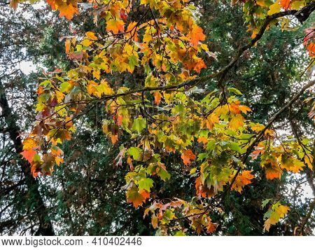 Maple Autumn Leaves On The Tree. Fall Outdoor Background With Colorful Leaves In October. Beautiful,