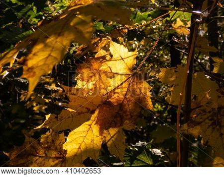 Maple Autumn Leaf Fall Outdoor Background With Colorful Leaves In October. Beautiful, Warm Toned Fal