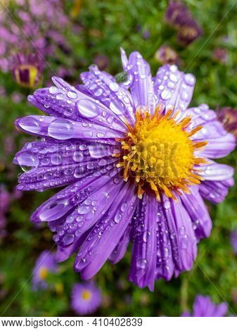 Close Up Shot Of Blooming Purple Round Alpin Aster (aster Alpinus) Covered With Water Drops In The G