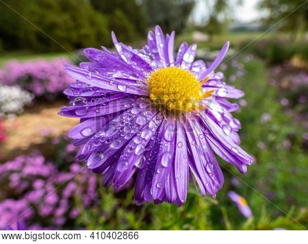Close Up Shot Of Middle And Petals Of Blooming Purple Round Alpin Aster (aster Alpinus) Covered With