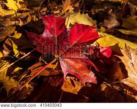 Red Maple Leaf On The Ground Surrounded With Yellow And Brown Leaves. Fall Outdoor Background