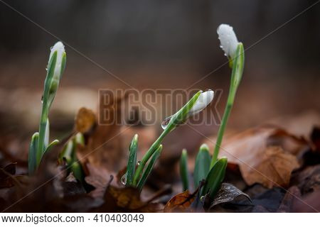 Snowdrops Lat.galanthus Nivalis Close-up With Dewdrops. Tender First Flowers Bloomed In The Spring I