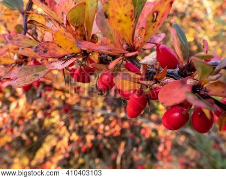 Red Barberry. Small Shrub With Green Leaves Turning Red In The Autumn, Brilliant Red Fruits In Autum