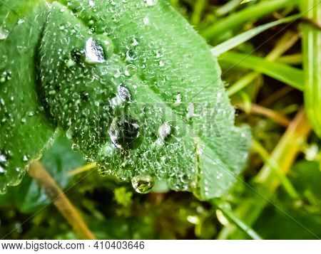 Green White Clover Leaves Covered With Morning Dew Drops In Summer