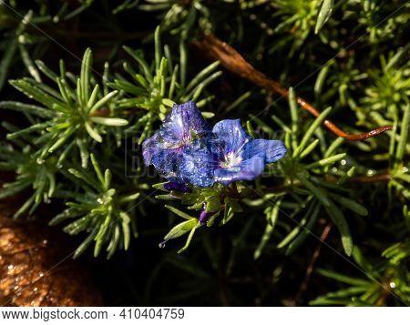 Frozen Water On Blue Flower Of Armenian Speedwell (veronica Armena) Flowering Plant Between Green Le