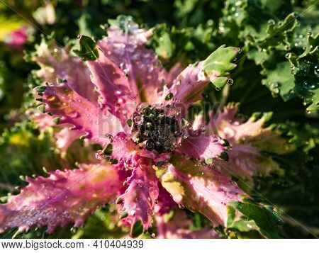 Perfect Round Water Drops On Brassica Ornamental Cabbage (flowering Kale) Leaves On A Sunny Day