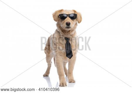 adorable elegant golden retriever dog wearing polka dotted tie and sunglasses, standing and walking isolated on white background in studio