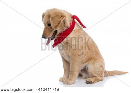 lovely labrador retriever dog on white background wearing red bandana, looking down, sticking out tongue and panting, sitting isolated in studio