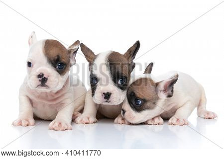 three french bulldog dogs sniffing something to a side and looking at the camera