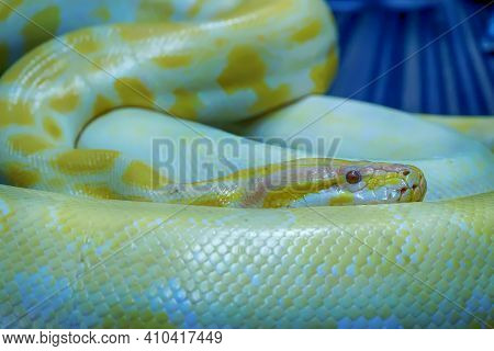 Albino Burmese Python Is Curled Up. Its Pet Tame.