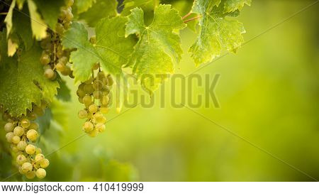 Ripe grapes on vine growing in vineyard at sunset time, selective focus, copy space. Vineyards grape at sunset in autumn harvest. Ripe white wine grapes.